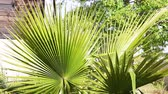 clorofila : Leaves of fan palm sways in the strong wind