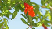 granátové jablko : Close-up of pomegranate red flowers with small fruits on a tree at wind