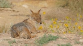лиса : Jackal lies on the edge of a blooming field and catches flying flies Стоковые видеозаписи