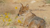 лиса : Zooming to face of jackal who lies on the edge of a blooming field with dirty nose