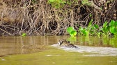 пантеры : Jaguar swimming near riverbank in Pantanal wetlands Стоковые видеозаписи