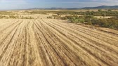 em linha reta : Aerial view of pointer pedigree dog running on stubble Stock Footage