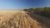 em linha reta : Following Pointer dog in wheat field Stock Footage