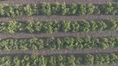 em linha reta : Aerial view of orange tree field with rabbit, flat color Stock Footage