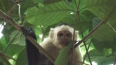 sincero : White face monkey looking to camera in super slow motion Vídeos