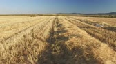 em linha reta : Pointer pedigree dogs in cultivated wheat field