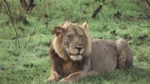 facing down : Slow Motion of Lion winking eye