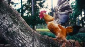 gallo : Cockerel ascending tree trunk in super slow motion