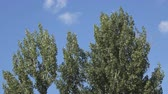 トップ : Poplar tree top sliding camera against blue sky