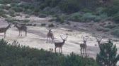 following : Group of male deers playing in the firebreak