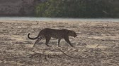 indifferent : Leopard walking on the sand near river