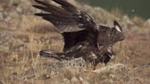 bird of prey : Aquila chrysaetos male gathering wings on the ground Stock Footage