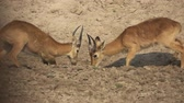 pensieri : Profile view of male Puku antelopes fighting in slow-mo Filmati Stock