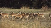 szafari : Impala antelope group walking in super slow motion