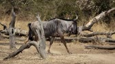 wildebeest : Wildebeest walking in super slow motion, profile view Stock Footage