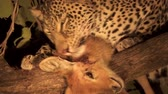 gekwetst : Leopard over the tree licks puku injury
