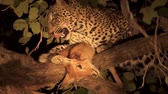 duro : Leopard over the tree licks puku injury and abandons it
