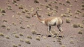 foco no primeiro plano : Vicugna vicugna running in super slow motion in Atacama