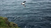 エラー : Puffin trying to reach nest in super slow motion 動画素材