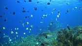 borboleta : Coral reef with plenty of fish. Sweetlips, snapper, banner fish, butterfly fish and many more. Stock Footage