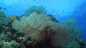 tubbataha : Huge sea fans with plenty of fish Stock Footage