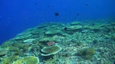 tubbataha : Colorful coral reef in Philippines with healthy hard corals. Snapper, grouper, angelfish and Anthias