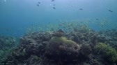 tubbataha : Coral reef with a school of snapper Stock Footage