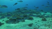 tubbataha : A school of Unicornfish swimming on a coral reef
