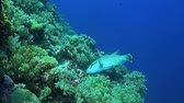 tubbataha : A Coral reef with a Napoleon wrasse Stock Footage