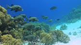 tubbataha : Sweetlips on a coral reef in Philippines Stock Footage