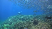 fusilier : School of Fusilier with Trevallies on a coral reef Stock Footage