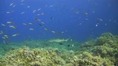 fusilier : Whitetip reef shark swims along a coral reef with plenty fish