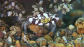 macro : Harlequin Swimming Crab. Portunidae, Lissocarcinus laevis. Close up Stock Footage