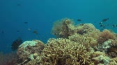 tubbataha : Colorful coral reef with plenty fish. 4k footage