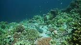 fusilier : Whitetip reef shark on a coral reef Stock Footage
