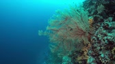 tubbataha : Colorful coral reef with big sea fans and plenty fish. 4k footage Stock Footage