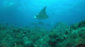 tubbataha : Manta ray on a colorful coral reef with healthy corals and plenty fish. 4k footage Stock Footage