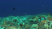 scuba dive : Whitetip reef shark on a colorful coral reef with plenty fish. 4k footage