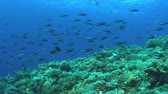 Redfin bream on a colorful coral reef with plenty of fish, Monotaxisheterodon - Emperors, Lethrinidae. 4k footage 무비클립