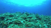 dorade : Redfin bream on a colorful coral reef with plenty of fish, Monotaxisheterodon - Emperors, Lethrinidae. 4k footage Vidéos Libres De Droits