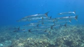 Blackfin Barracudas on a Coral reef. 4k footage Stock Footage