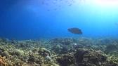 snapper : Napoleon on a coral reef. Humphead wrasse. 4k footage