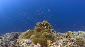 объектив : Colorful coral reef with plenty of fish 4k footage
