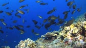 biodiverzitás : Colorful coral reef with plenty fish. 4k footage