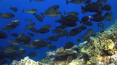 snapper : A school of unicornfish on a coral reef. 4k footage