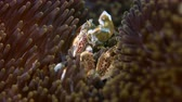 Spotted Porcelain Crab in a sea anemone. Porcellanidae, Neoptrolisthes maculatus. Close up