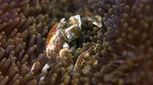porcelana : Spotted Porcelain Crab in a sea anemone. Porcellanidae, Neoptrolisthes maculatus. Close up