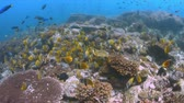 School of Butterflyfish on a coral reef. Many Anthias, Damselfishes and Crecery Wrasses around 4k footage 무비클립