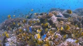 piramide : School of Butterflyfish on a coral reef. Many Anthias, Damselfishes and Crecery Wrasses around 4k footage Filmati Stock