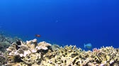 grouper : Colorful coral reef with plenty fish. 4k footage